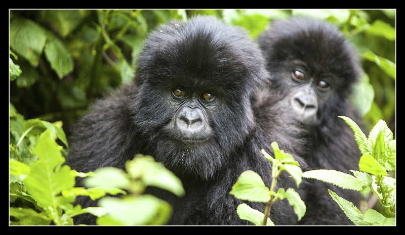 Parque Nacional Mgahinga Gorilla - uganda gorilas