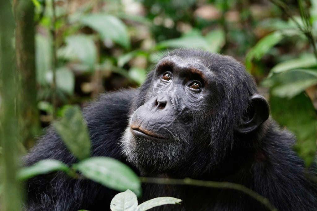 Kibale-National-Park-gorilas-en-uganda