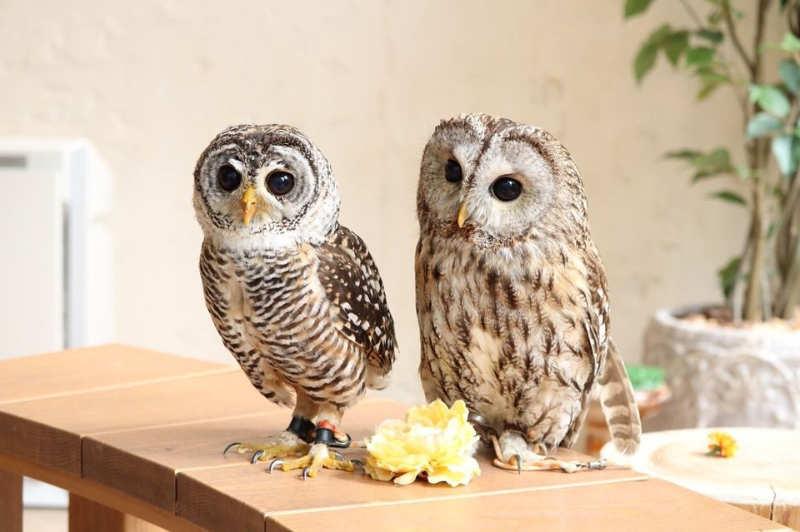 Harajuku Owl Café Tokio tours