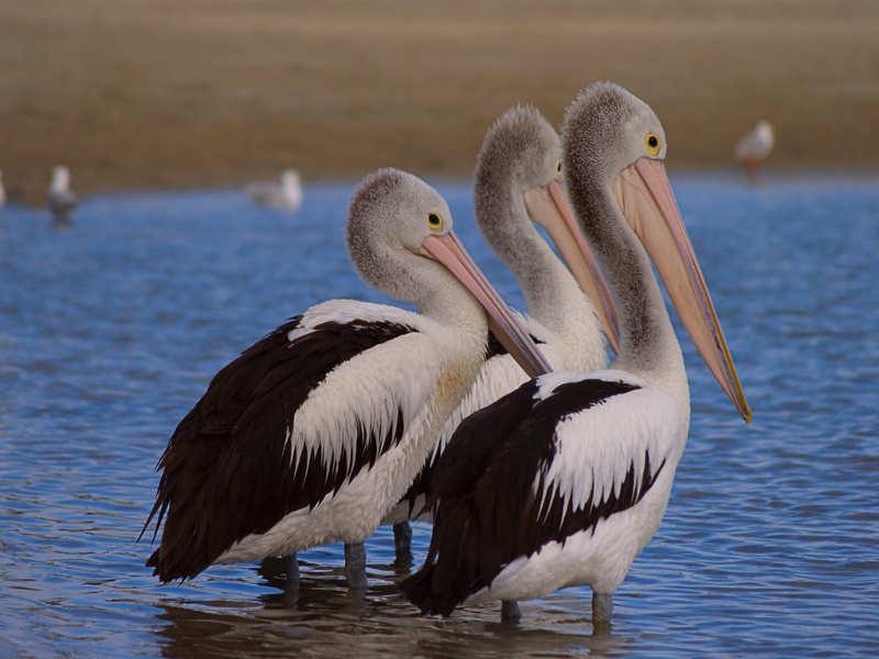 pelicano en Labrador